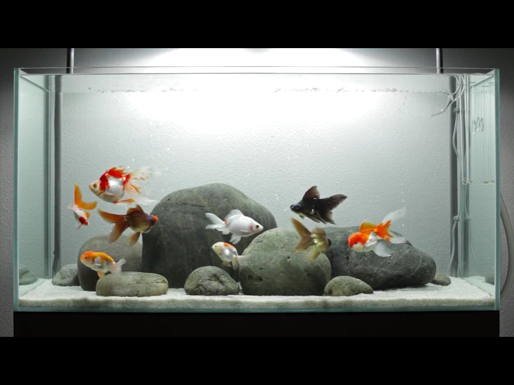 Goldfish simplicity. Maybe the tank is too small in the long run ...
