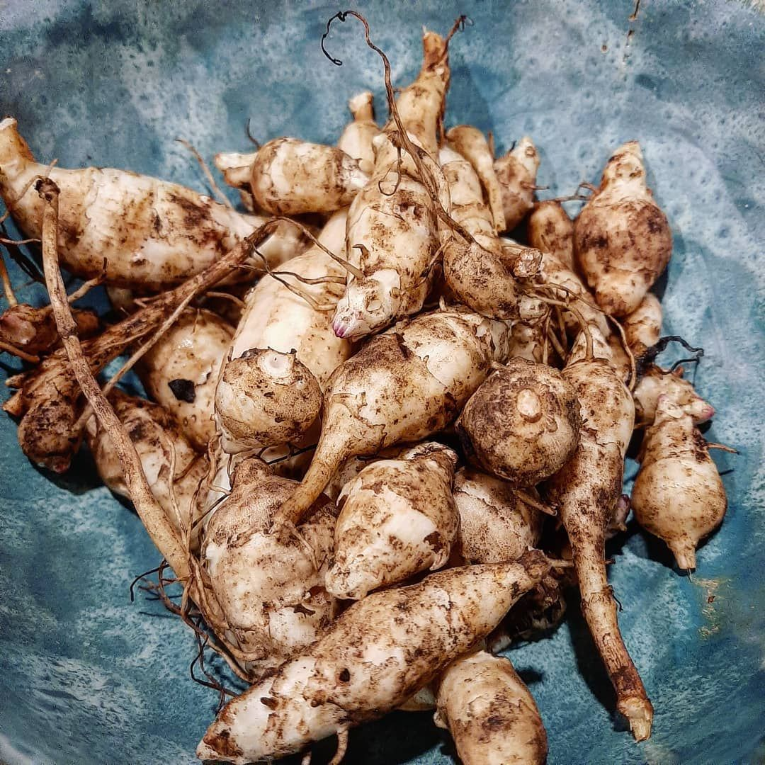 TOOT TOOT for the roots Actually more accurately Jerusalem artichoke tubers  Pulled them up from their 2 metre sunflower like stalks as the wintry frost has improved the...