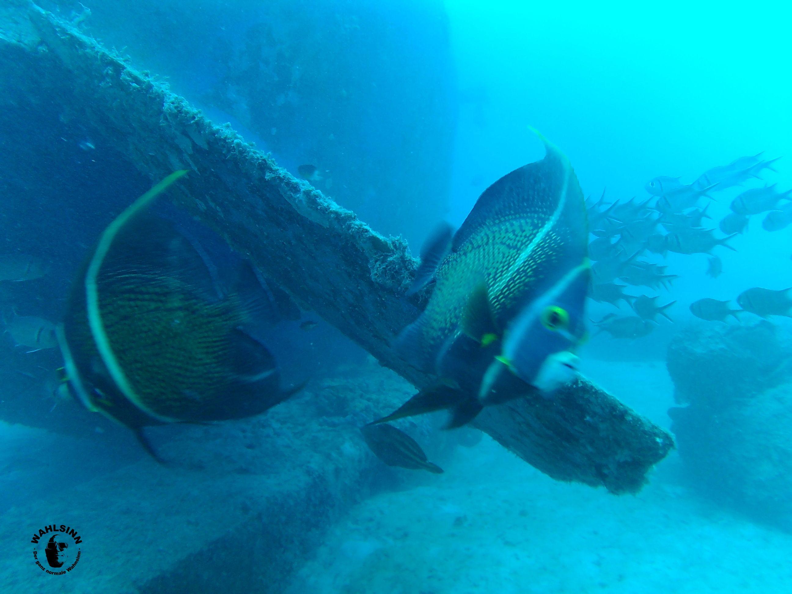 Barbados - Fischis gibts an den Wracks auch zu schauen. Und schüchtern sind sie nicht gerade