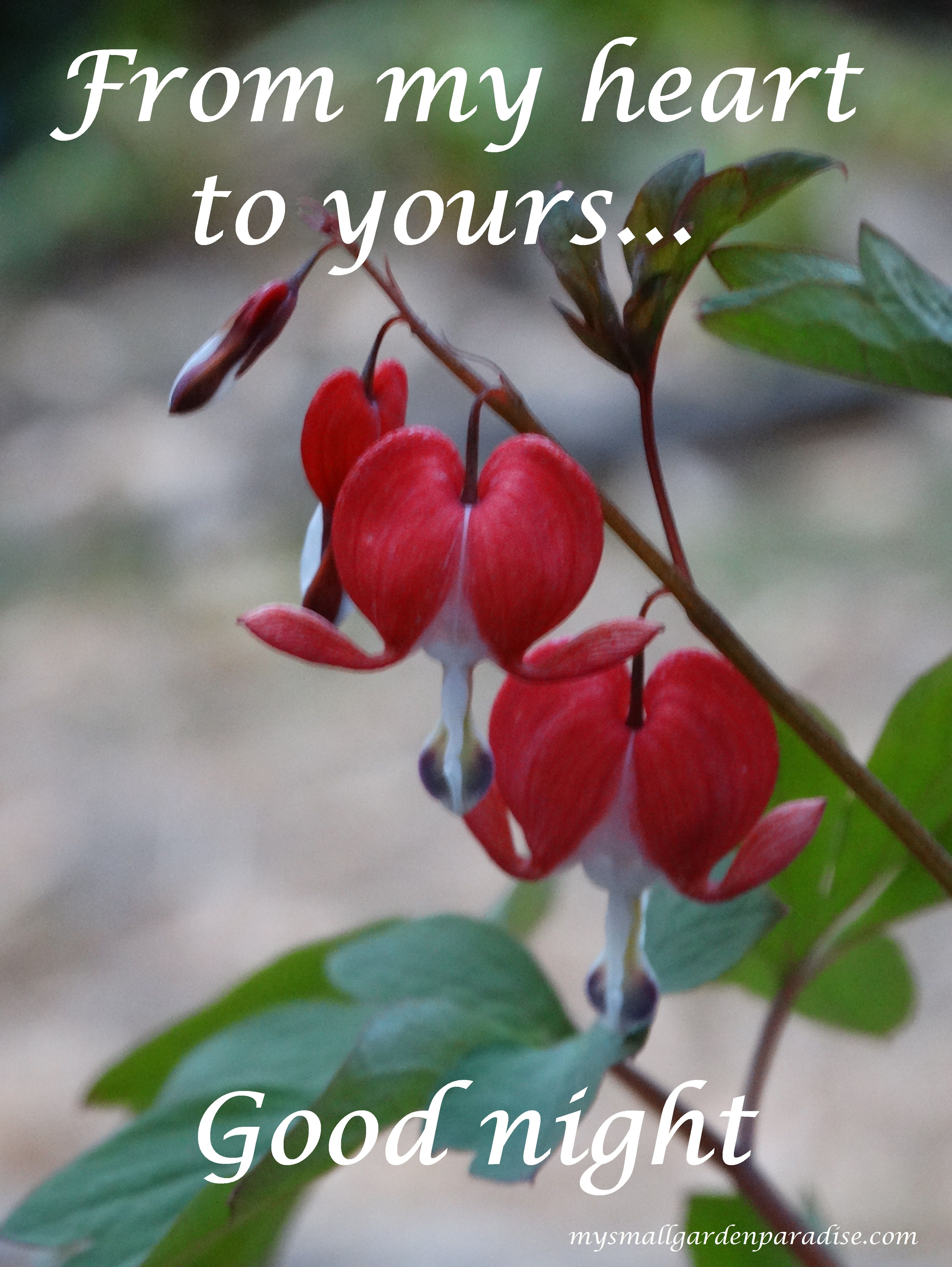 Red Bleeding Hearts My Gift Today From Hubby Mysmallgardenparadise Com Good Night Sweet Dreams Good Night Quotes Morning Images