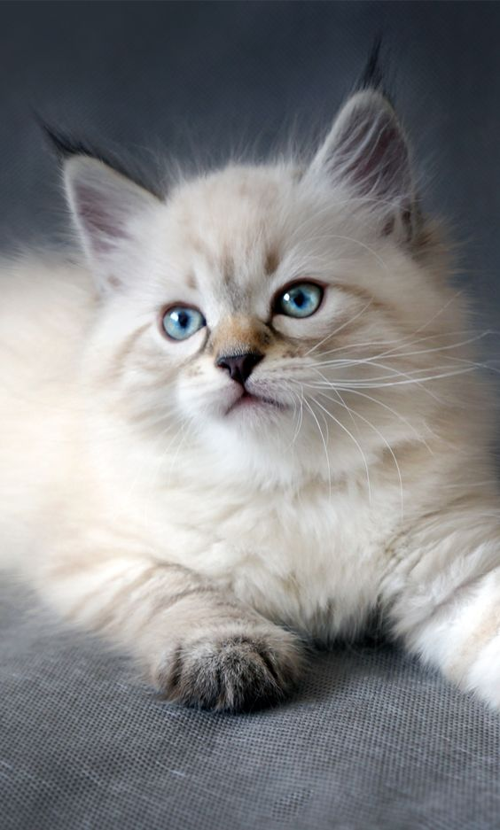 In theory, your feline friend can have up to three pregnancies per year, and with an average of four kittens in every litter, that would mean at least 12 kittens every year. . . . . . . . #cats #kittens #pets #animals