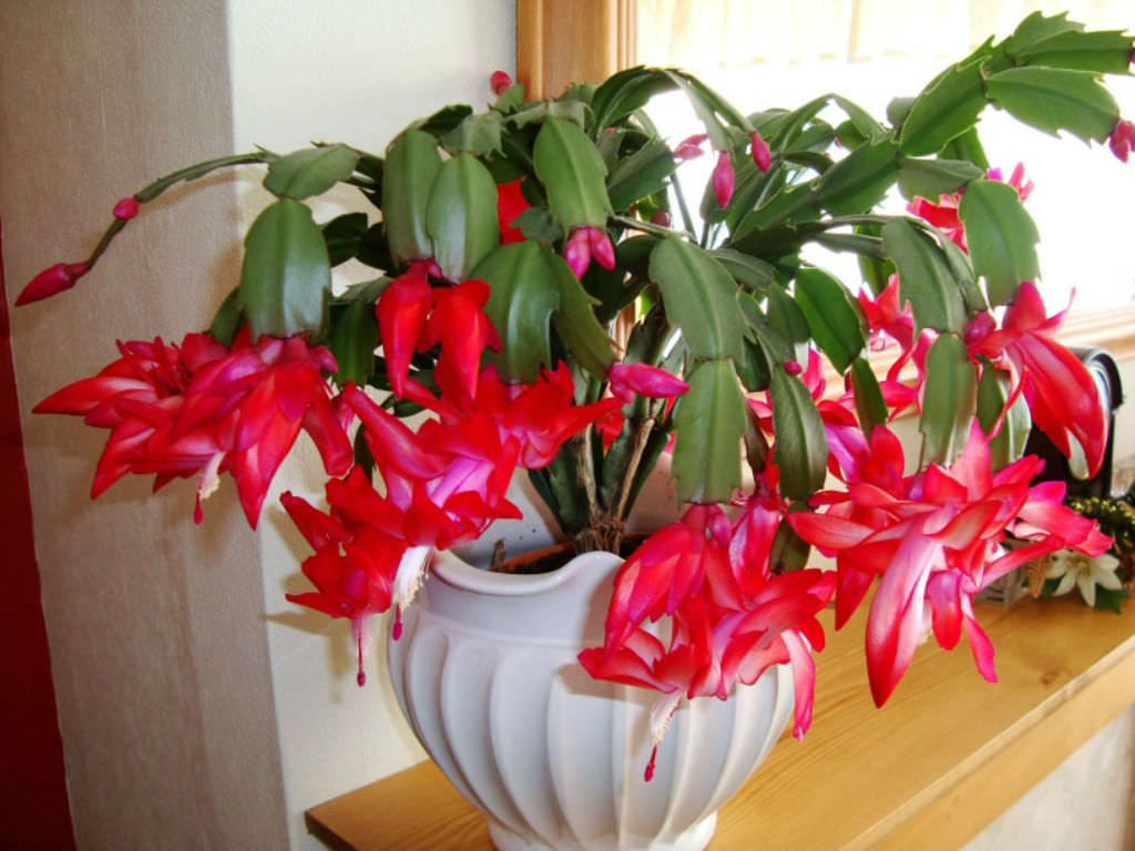Christmas Cacti.10 Facts About Christmas Cacti Christmas Castus And More