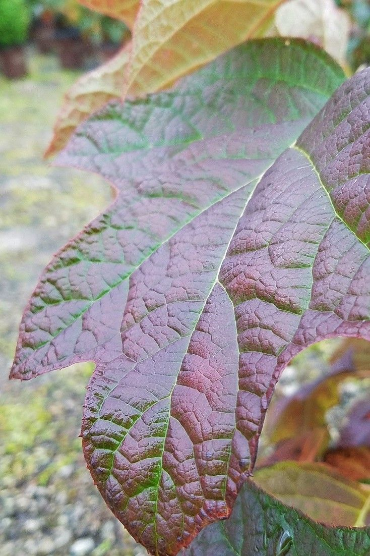 For Seasonal Color Count On The Oakleaf Hydrangea To Deliver These Leaves Turn Shades Of Red And Brown In Autumn Order Plants Online Hydrangea Leaves Plants
