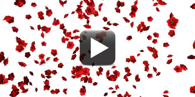 Free Rose Flowers Falling Animation Video Background Rose Petals Falling Rose Flower Flowers Gif