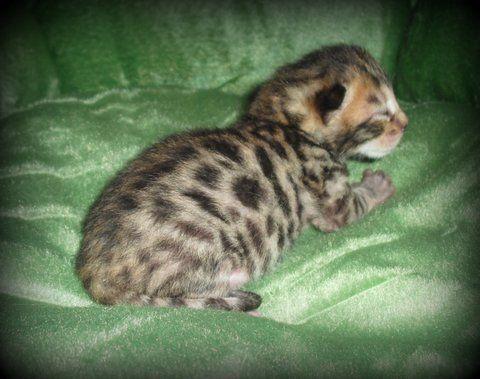 Kittens Bengal Kittens For Sale In Oklahoma Bengal Kittens For Sale Bengal Cattery Bengal Cat Kitten Cats And Kittens Bengal Kitten