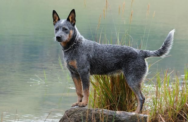 Australian Cattle Dog Learn About Breed History Of Australian