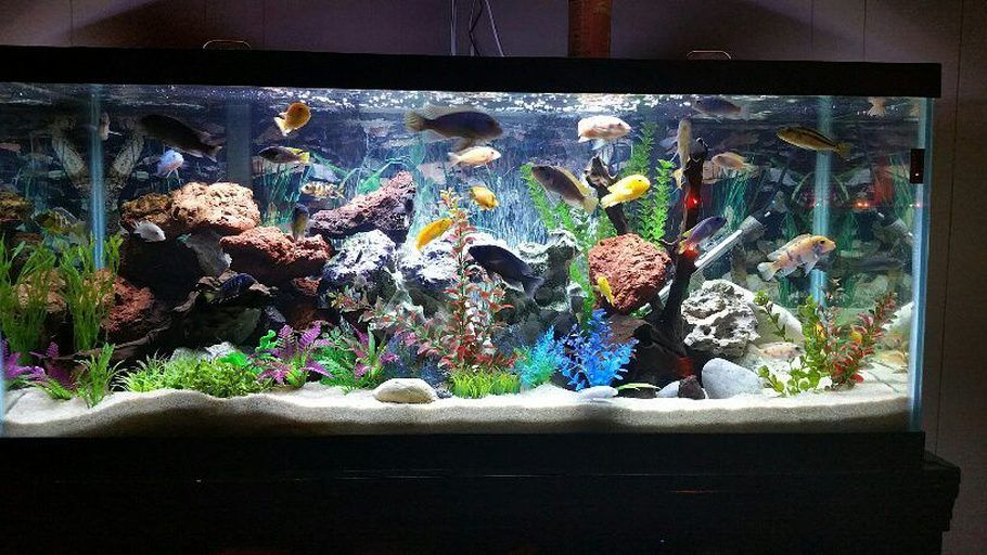 75 Gallon Mixed African Cichlid Tank Containing About 30