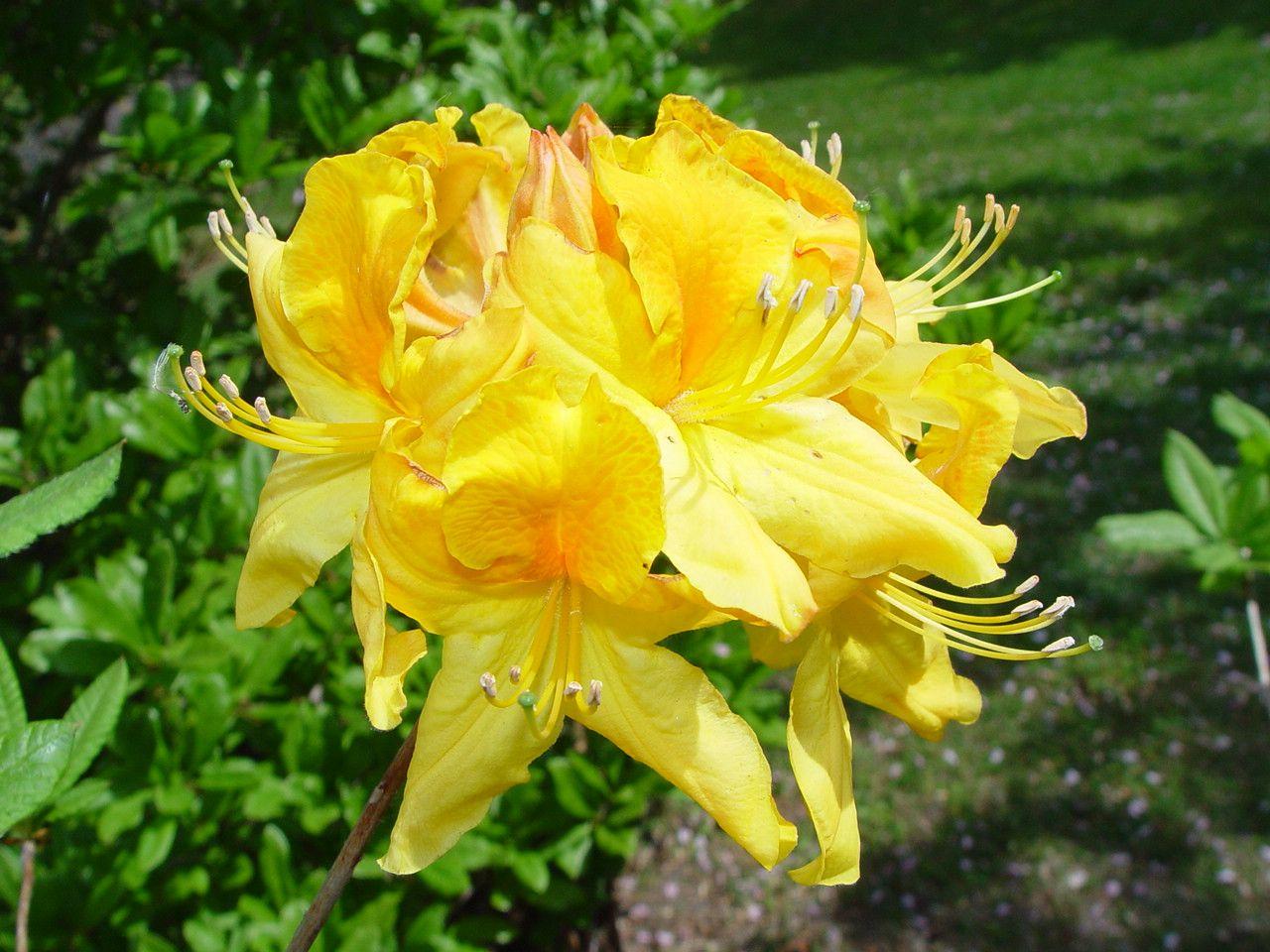Yellow Azelea