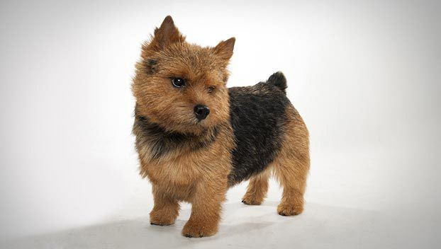 Norwich Terrier Dog Breed Selector Norwich Terrier Norwich Terrier Puppy Dog Breeds