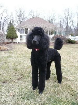 This looks like our Standard #poodle at the age of 15 months. He was such a Prince, we miss him. #blackcatgrooming