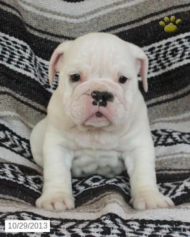 English Bulldog Puppy For Sale English Bulldog Puppies Bulldog