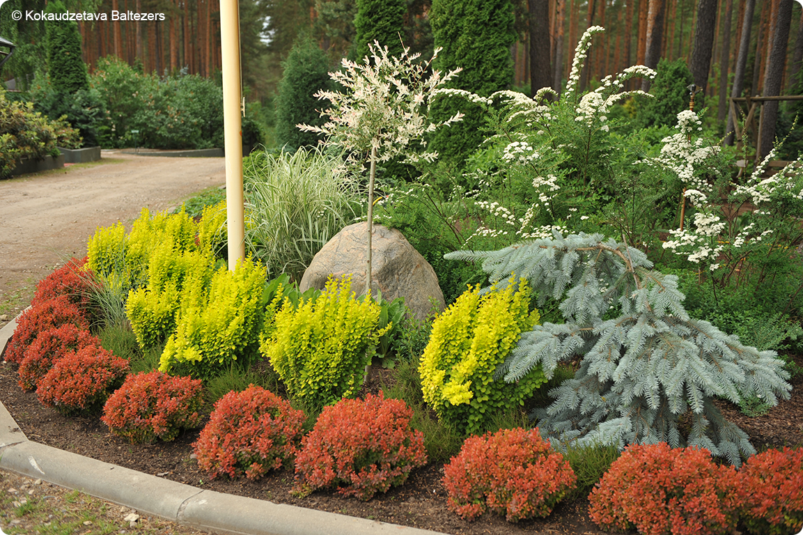 Red Plant Barberry Admiration Front Yard Landscaping Design Plants Red Plants
