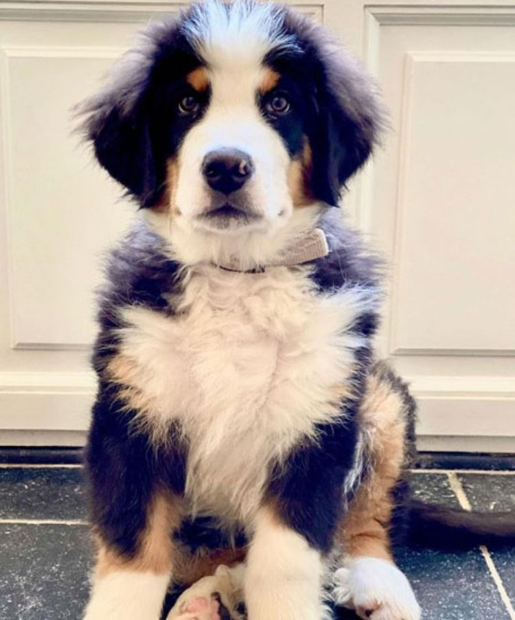 Tips For Bernese Mountain Dog Puppy Training No Jumping On People Training Your Dog To Not Jump U In 2020 Bernese Mountain Dog Puppy Bernese Mountain Dog Mountain Dogs