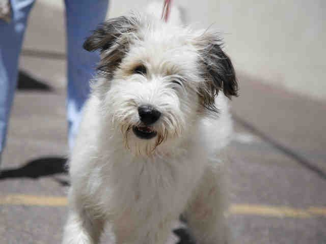 Meet Panda A Petfinder Adoptable Wheaten Terrier Dog Phoenix Az Petfinder Com Is The World Rsquo S Largest Database With Images Puppy Adoption Dogs Dogs And Puppies