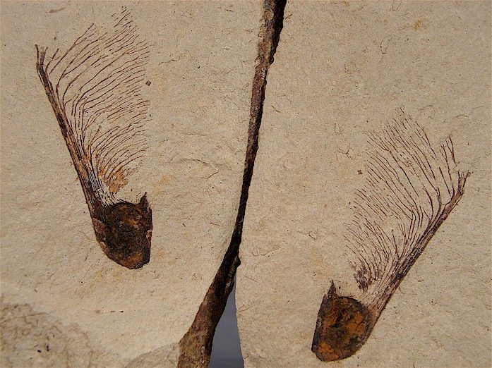Maple Seed (Helicopter) - My Fossils and stuff - Gallery