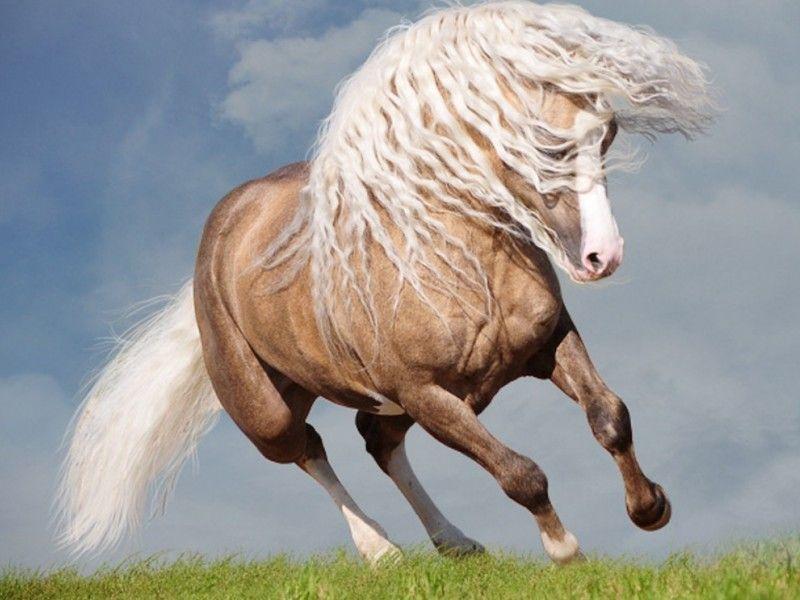 Un cheval palomino au galop dans l 39 herbe le cheval en image pinterest animation - Comment dessiner un cheval au galop ...
