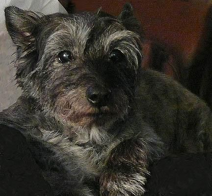 Bushland Terrier Cairn Terrier Scottish Terrier Mix Best Dog