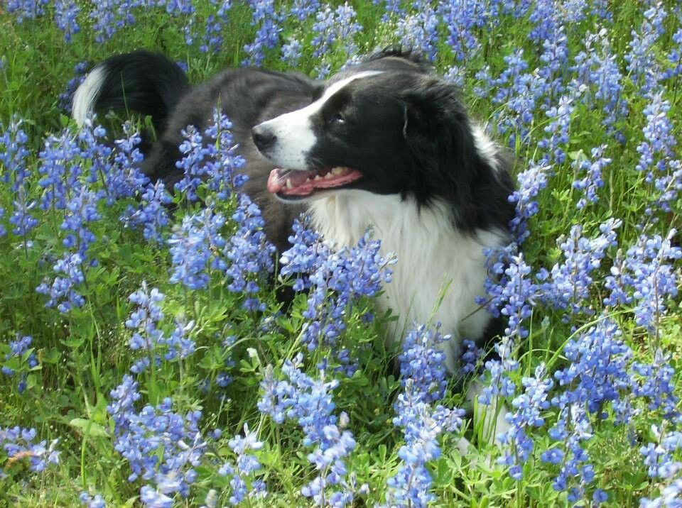 Border Collie Resting In The Blue Bonnet Jackie S Stuff Collie