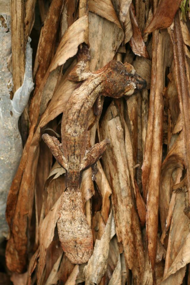 Uroplatus fimbriatus #gecko #lizard #reptile #camouflage
