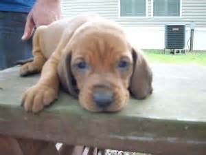 Redbone Hound Puppies For Sale In Alabama Bing Images Hound