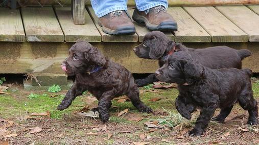 PUPPY? BOYKIN SPANIEL CLUB OF TEXAS in 2020 Puppies