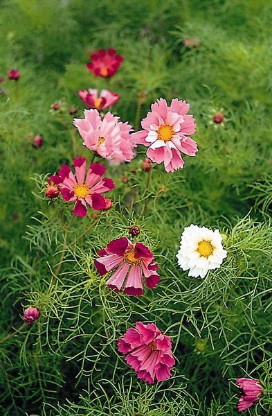 Seaside Cosmos Mix Pink Purple White Red Flower Garden Organic Gardening Magazine Plants