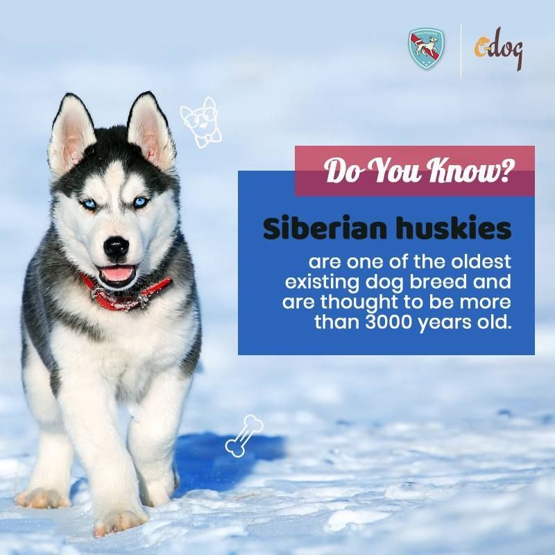 The Siberian Husky Is A Beautiful Dog Breed With A Thick Coat That