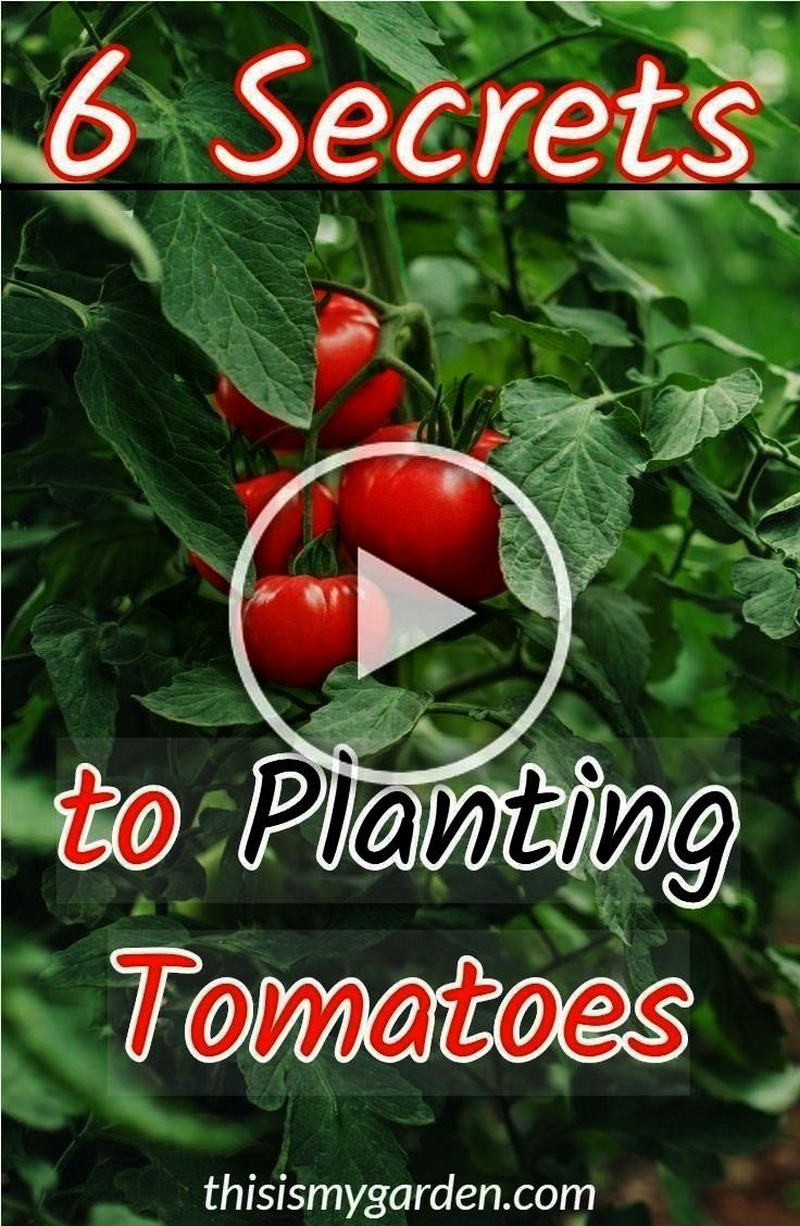 To Planting Tomatoes for your biggest harvest yet 6 Secrets To Planting Tomatoes for your biggest harvest yet How to repot aloe vera plants and divide their pups Aloe ver...