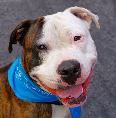 MIKEE – A1079095 **RETURNED 07/18/16** MALE, BR BRINDLE / WHITE, AM PIT BULL TER / AMER BULLDOG, 2 yrs, 7 mos RETURN – EVALUATE, HOLD RELEASED Reason BITEPEOPLE Intake condition EXAM REQ Intake Date 07/18/2016, From NY 10302, DueOut Date 07/18/2016, Medical Behavior Evaluation GREEN Medical Summary microchip scan positive 981020015789938 intact male approximately 2 yrs old BARH ears are clean mild redness around eyes appears to still have CIRDC coughing, moderate amount of clear nasa