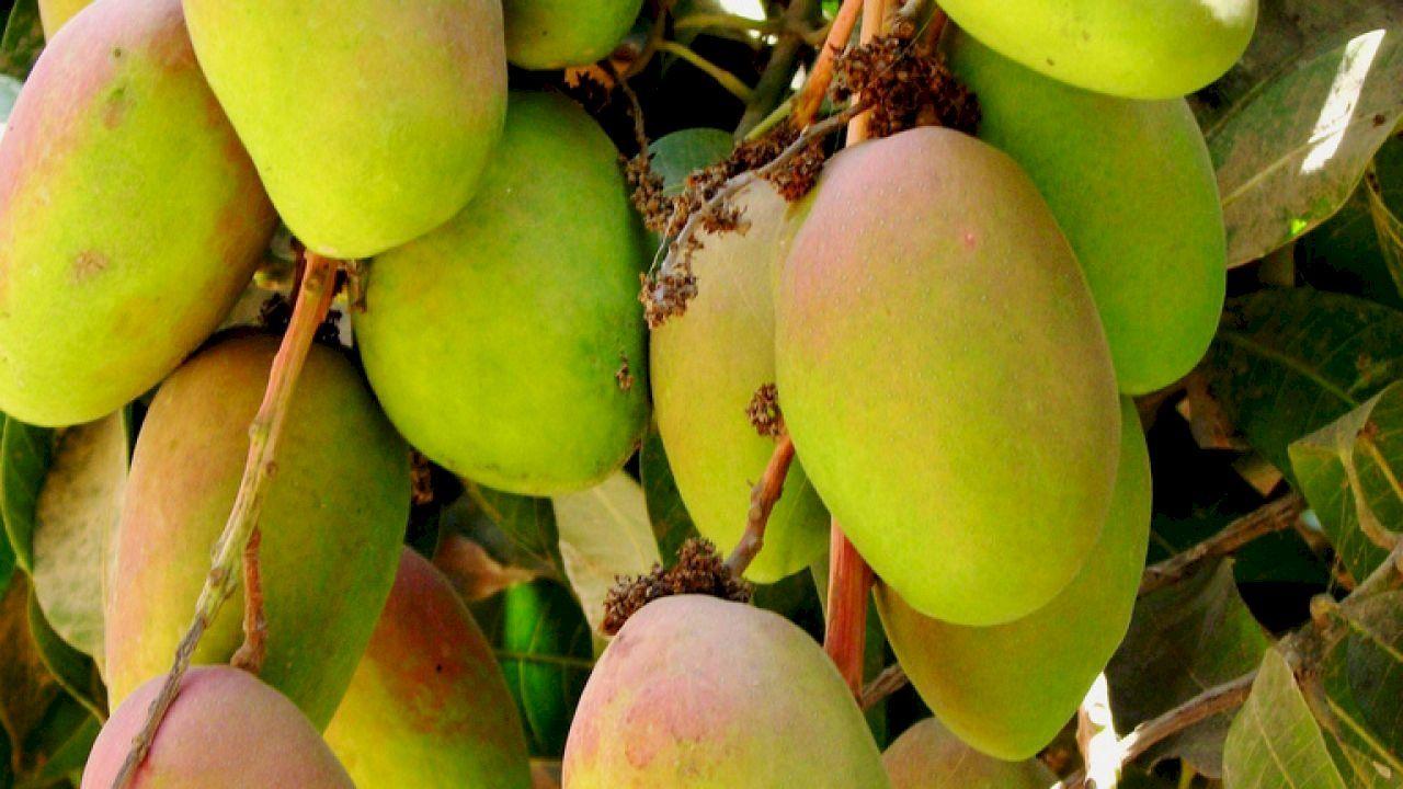 كيف تزرع المانجو Grapes Mangoes Fruit
