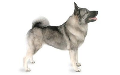 Norwegian Elkhound Norwegian Elkhound Dog Breeds Spitz Type Dogs
