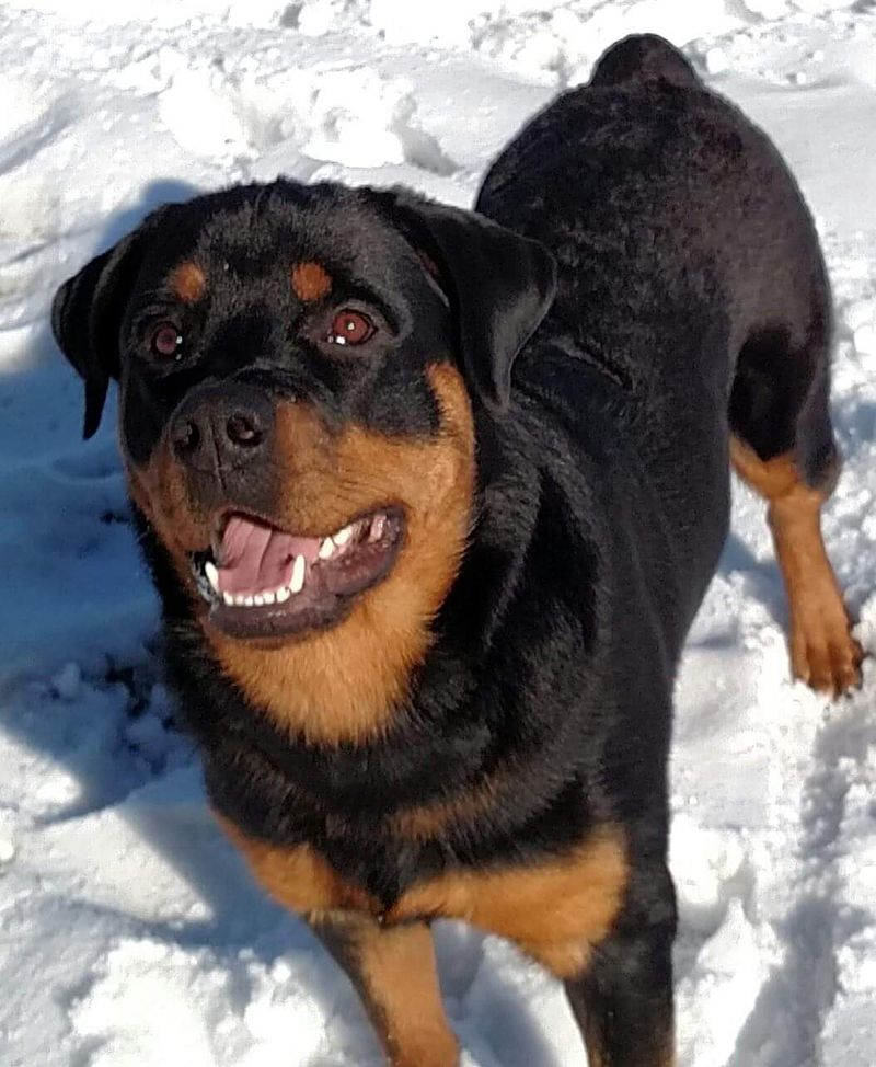 New entry to contest Rottweiler, Vets, Animals