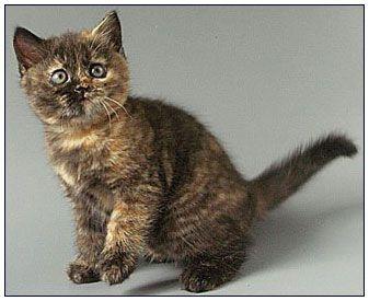 Tortoiseshell British Shorthair Cats Google Search Susse Tiere Katzen Tiere