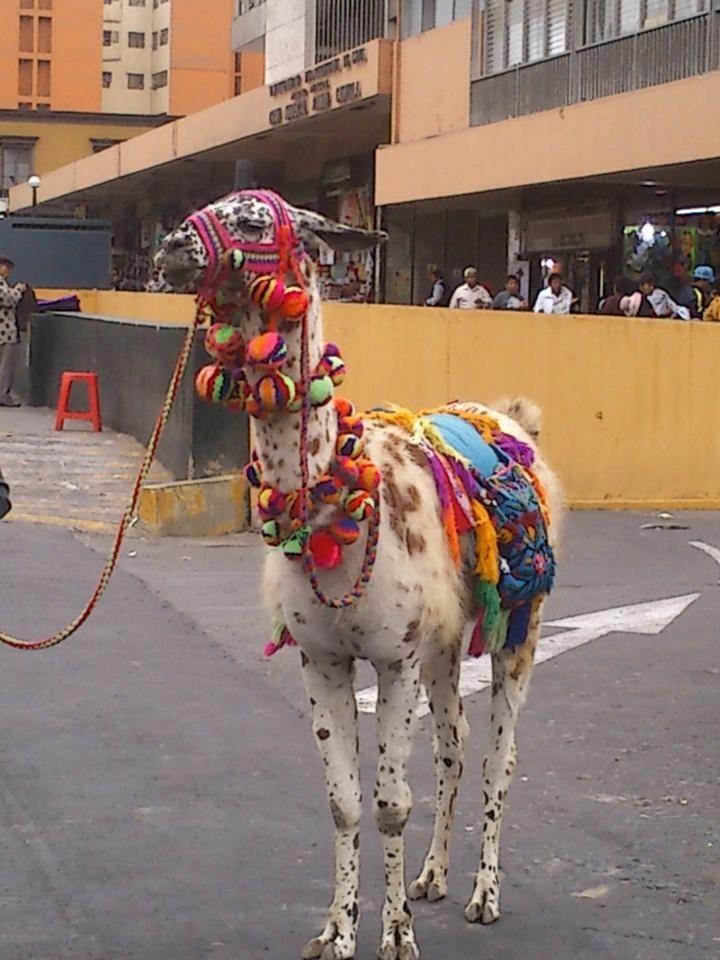 Peru llama...❤❤