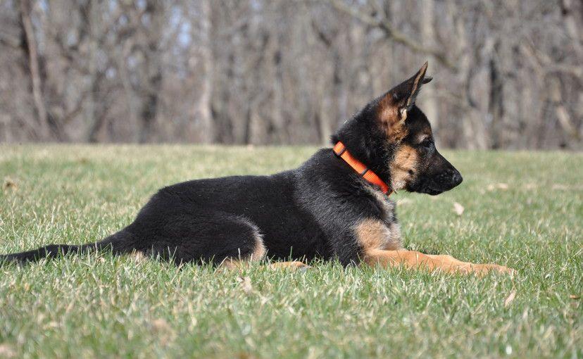 Vollmond Karo Irana German Shepherd Puppy At 10 Weeks Old Looks