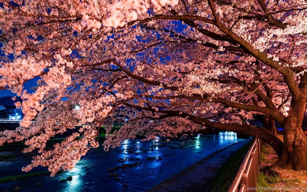 Cherry Blossom Desktop Wallpaper 461084