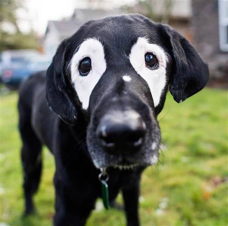 This Black Lab Called Rowdy Has Vitiligo And Has Met With Children Who Have The Same Condition To Make Them Feel More Confident In Themse In 2020 Animals Dogs Dog Help