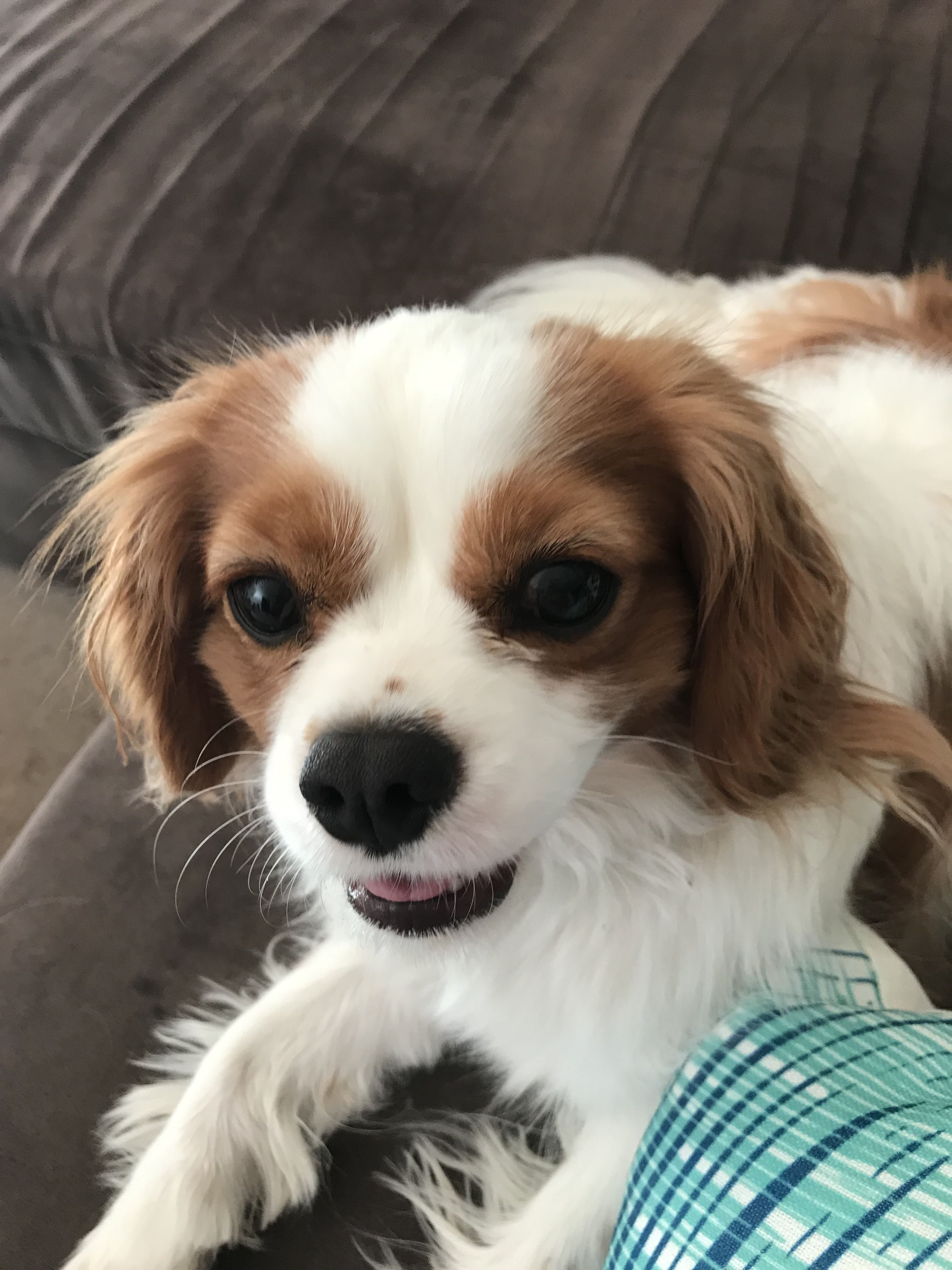 Why Did You Stop The Chin Scratching Ninathewonderpuppy King Charles Spaniel Cavalier King Charles Spaniel King Charles