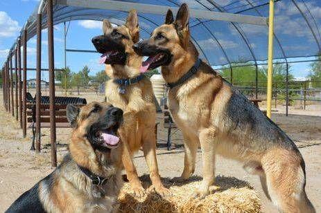 Vintar Akc German Shepherds Puppies Akc Registered Dna Tested