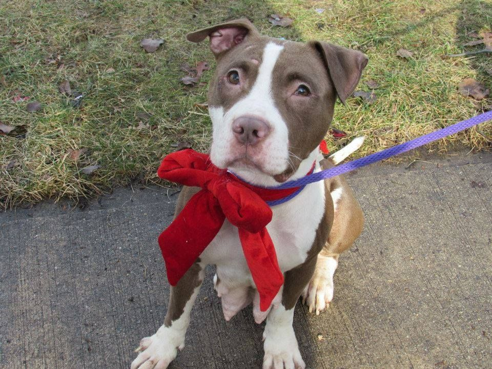 To Be Destroyed 1 9 14 My Name Is Pamela Id A0987780 Hurry Nyc Brooklyn Ctr Volunteer Writes 3 Yr Old Pamela Is One Of T With Images Your Pet Dog Adoption Pitbulls