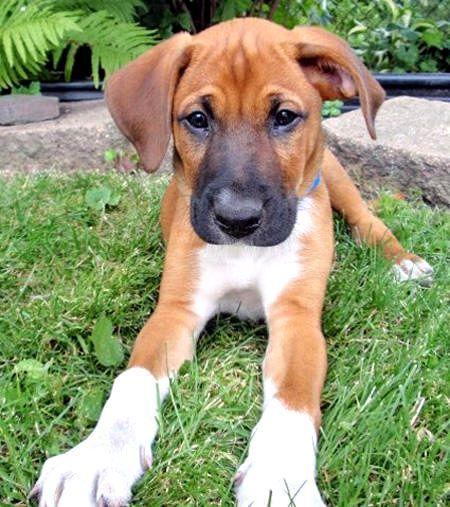 Boxer x German Shepard Dogs Pinterest Doggies, Pup