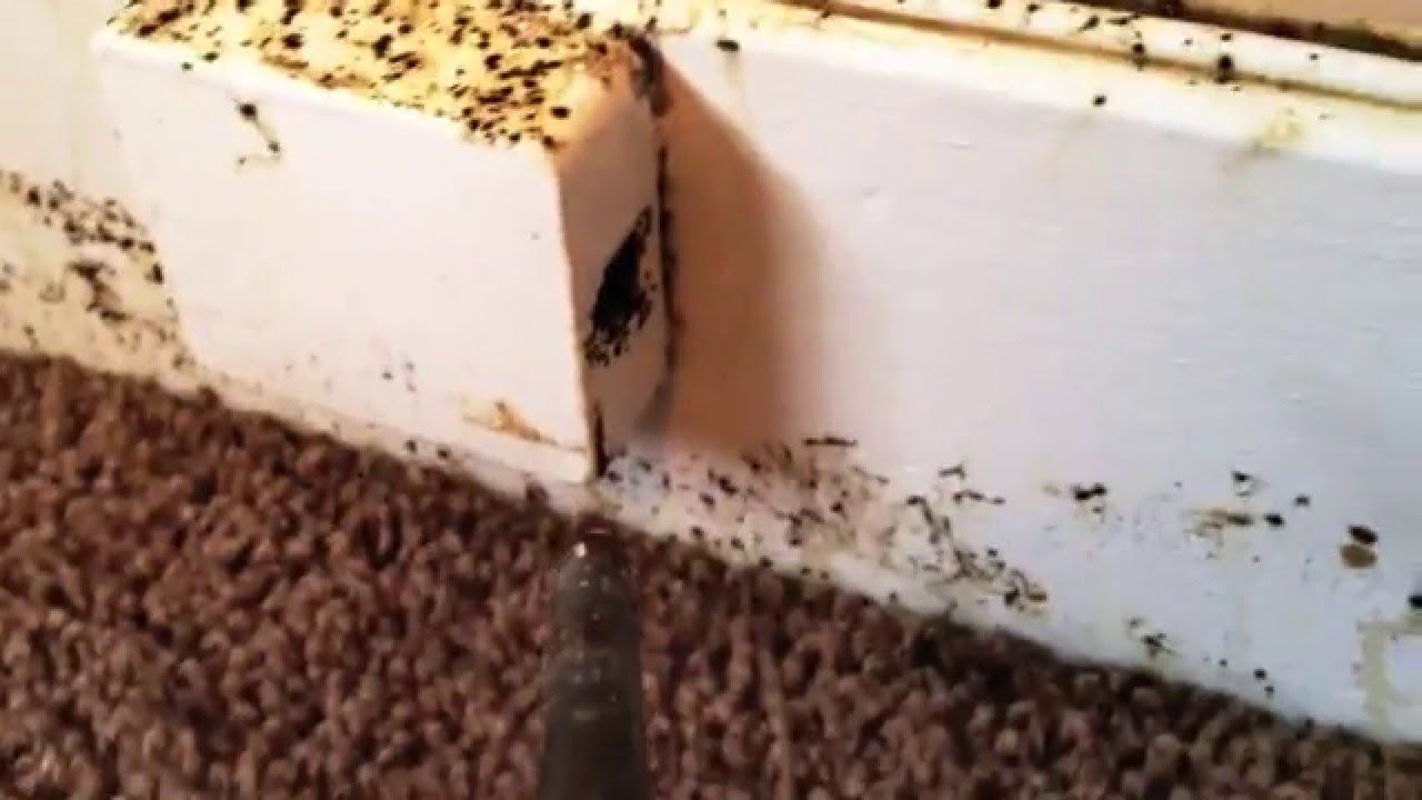bed bug busters - thousands of bed bugs infest apartment | ewwwwww