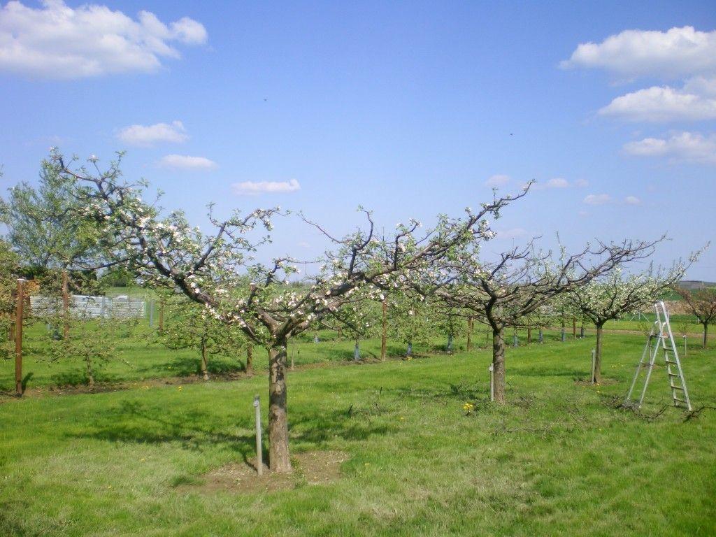 Pommier en gobelet ouvert apr s la taille la taille des - Taille arbre fruitier ...