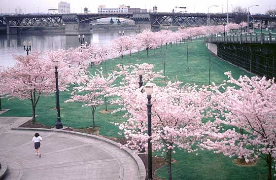 Can Springtime Count As A Holiday Akebono Cherry Trees In Tom Mccall Waterfront Park Portland Via Jfschmid Beautiful Tree Favorite Places Cherry Tree
