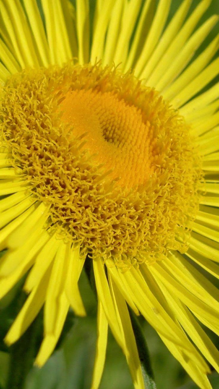 Flower Petals Yellow You Are My Sunshine Pinterest Flower