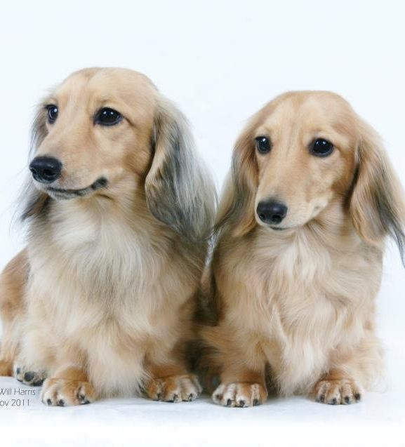 Beautiful Dachshunds Visit Www Facebook Com Hotdoggstand For