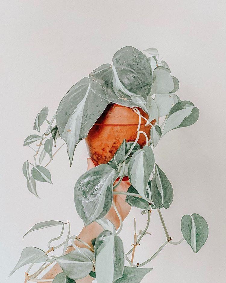 Pflanzen - Ich ging immer wieder zurück, um mir Peperomia 'Hope' im Laden anzusehen, und erst beim dritten oder vierten Besuch kam es tatsächlich heraus! Erbärmlich, ich ... Jardineria, #39Hope39 #anzusehen #beim #Besuch #dritten #Erbärmlich #erst #ging #heraus #ich #immer #Jardineria #kam #Laden #mir #oder #Peperomia #Pflanzen #tatsächlich #und #vierten #wieder #zurück