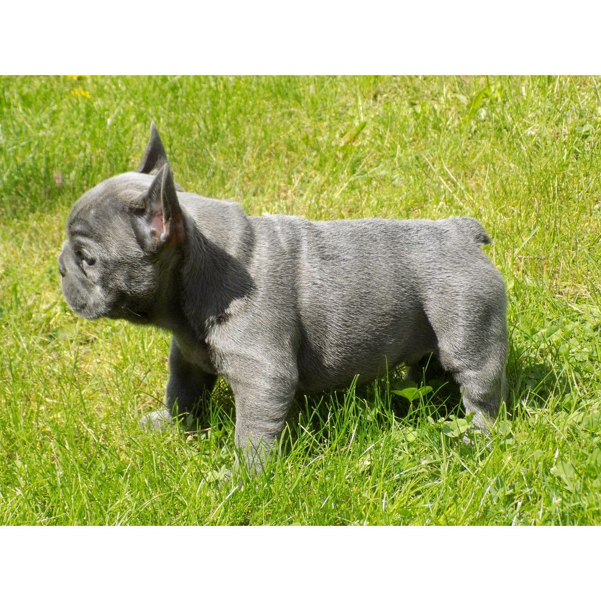 French Bulldog Puppies Indiana French Bulldog Puppies For Sale