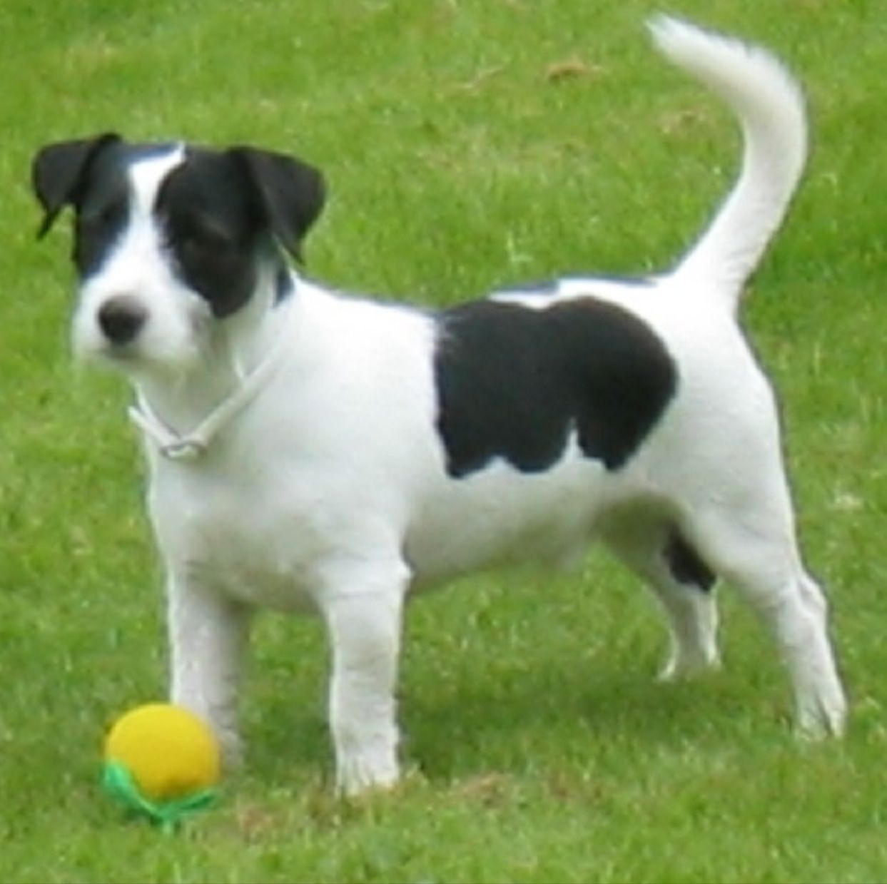jack russell terrier black and white - photo #4