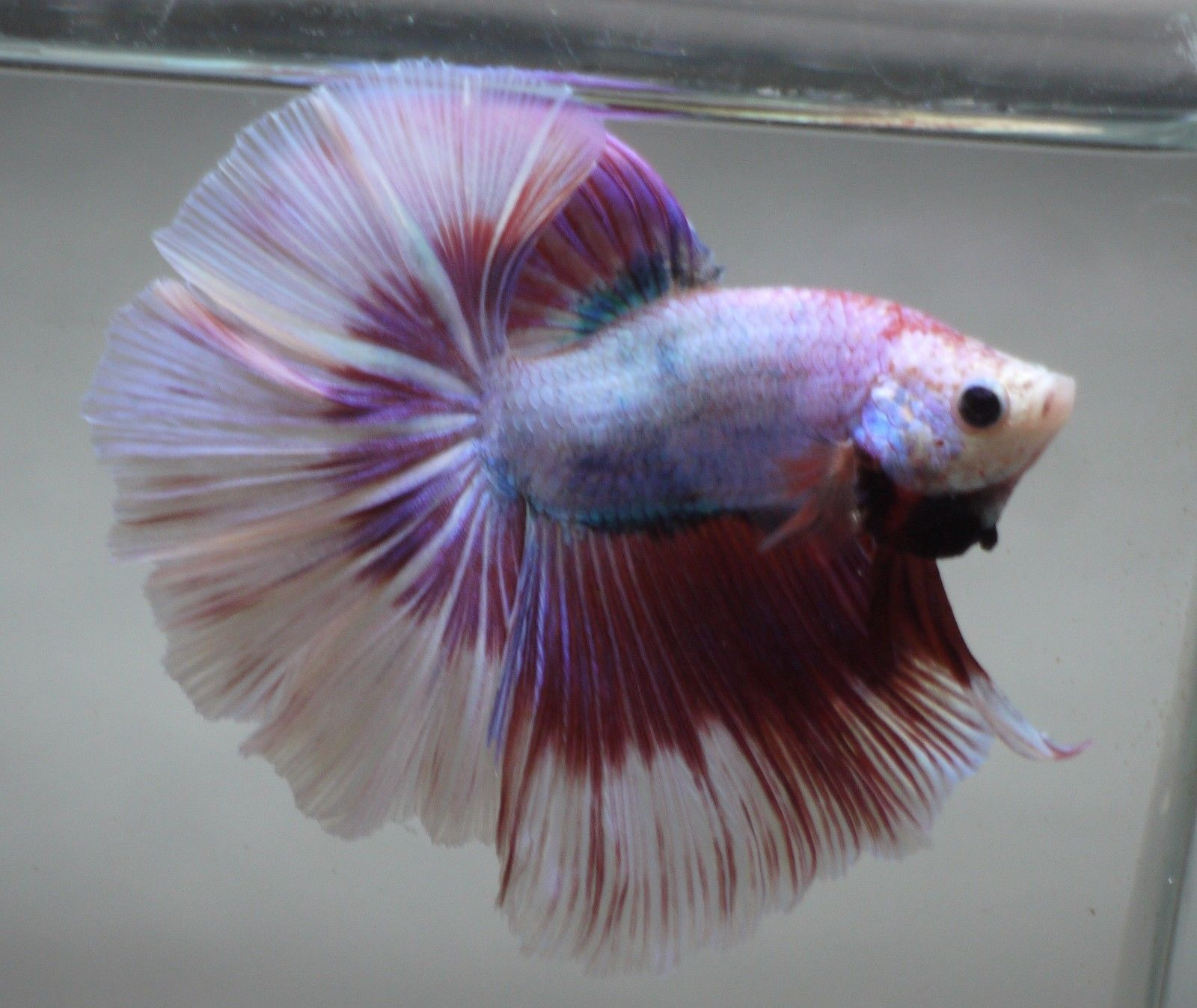 Betta Tropical Fish | Live Tropical Fish Red Pink Fancy Marble Halfmoon Betta B80 Common